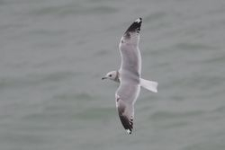 Common Gull