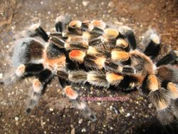 B.smithi breeding 2011