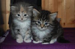 Kattungene er 5 uker.