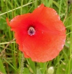 Long-headed poppy flower