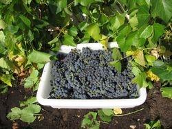Real native grown grapes