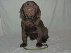 "5 Weeks Old - Green Collar Female ""Willow"""