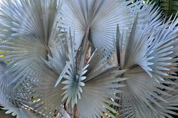 Palm Tree 1