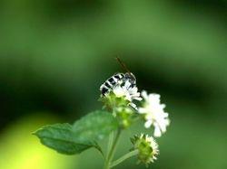 Male Halictid Bee?