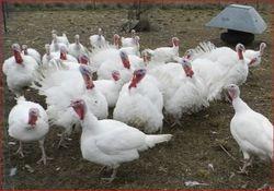 White Gobblers + Hens