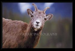 Rocky Mountain Ewe closeup