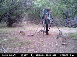 four foxes