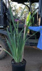 Blue Louisisana Iris