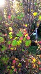 Kousa Berries