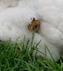 Baby chick peeking out from mum's feathers