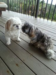 Shih Tzu Blends Before