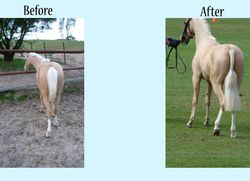 "Palomino pony had no tail from 6"" above the dock.  After shot shows half wrapp to cover up a double tail to get this effect"