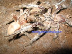 Chilobrachys sp.Sai Yok