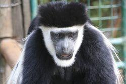 Monkey at Animal Orphanage, Mt. Kenya Safari Club