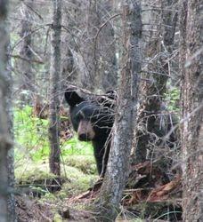 local bear visitor