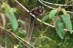 Sagui da serra escuro ( Callithrix aurita ) filhote
