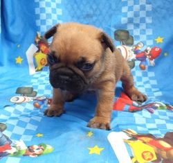 SASQUATCH: $2895 after $500 neuter binder rebate, AKC French Bulldog, male, born 4-17-15 to Blue Spice and Geronimo, pics on 5-15-15, 2 yr health, vet puppy wellness exam, microchip, OPC canine care recommendations, more