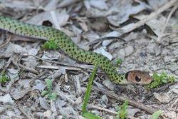 Cobra verde ( Liophis typhlus ) juvenil
