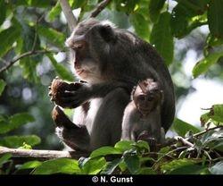 Scrounging around coconut foraging (Pulaki)