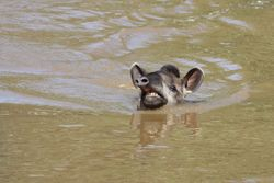 Anta ( Tapirus terrestris )