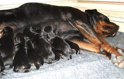 Phoebe & her puppies 2007