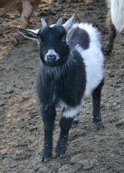 Nigerian Dwarf Doe born 2011