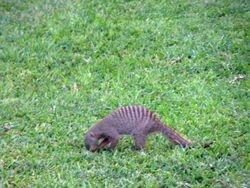 Banded Mongoose at Victoria Falls Hotel, Zimbabwe