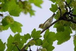 Wood Warbler (Pouillot siffleur)