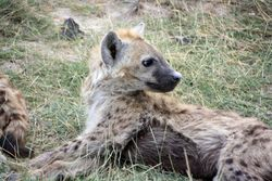 Baby Hyena - Amboseli Game Reserve