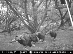 4 Trophy Toms (Rio Grands Gobblers