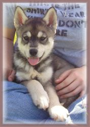 Simmaki puppy
