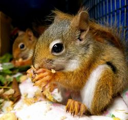 Autumn red squirrels as adults