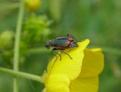 Red tipped flower beetle