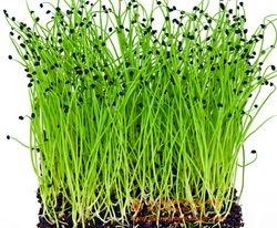 Alliaceae Family - ONION