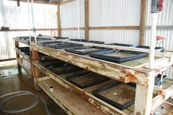 Trays of baby conch at the conch farm