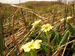 wild Primrose April 2
