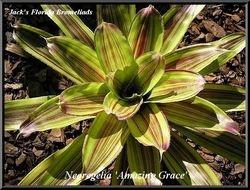 Neoregelia 'Amazing Grace' $20.00