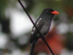 Black Nunbird (Barbacou noir)