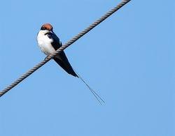 Wiretailed Swallow