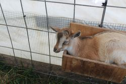 Goat in a feeder
