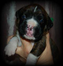 Flashy Brindle Male Sterling SOLD