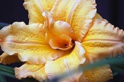 Yellow frill flower
