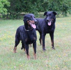 Dextera i Cyno