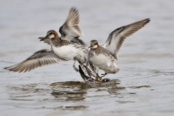 Phalaropes - Phalaropes