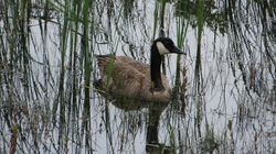 Canada Goose near Collingwood