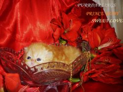 """""""PRINCE RUBY SWEET LOVE"""" RED  MACKEREL TABBY MALE IS RESERVED FOR LAUREN"""