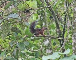 Variegated Squirrel
