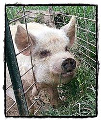 Conner the Kune Kune pig