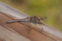 Common Darter  SYMPETRUM STRIOLATUM