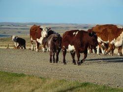 1R and 103U as a heifer calf